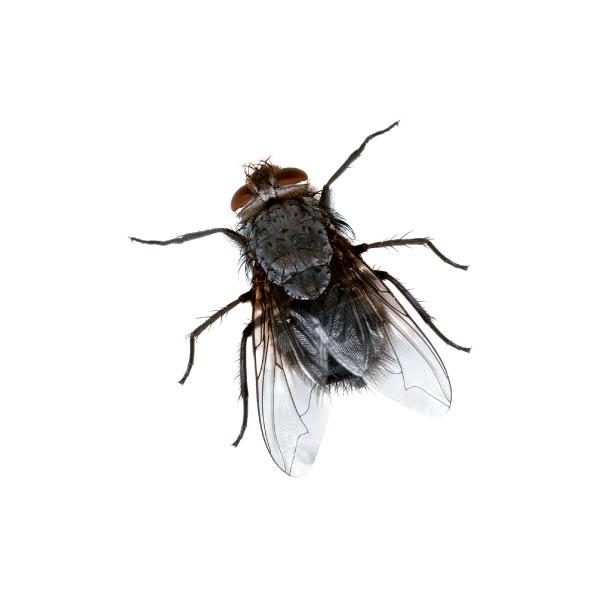 flue Skadedyr